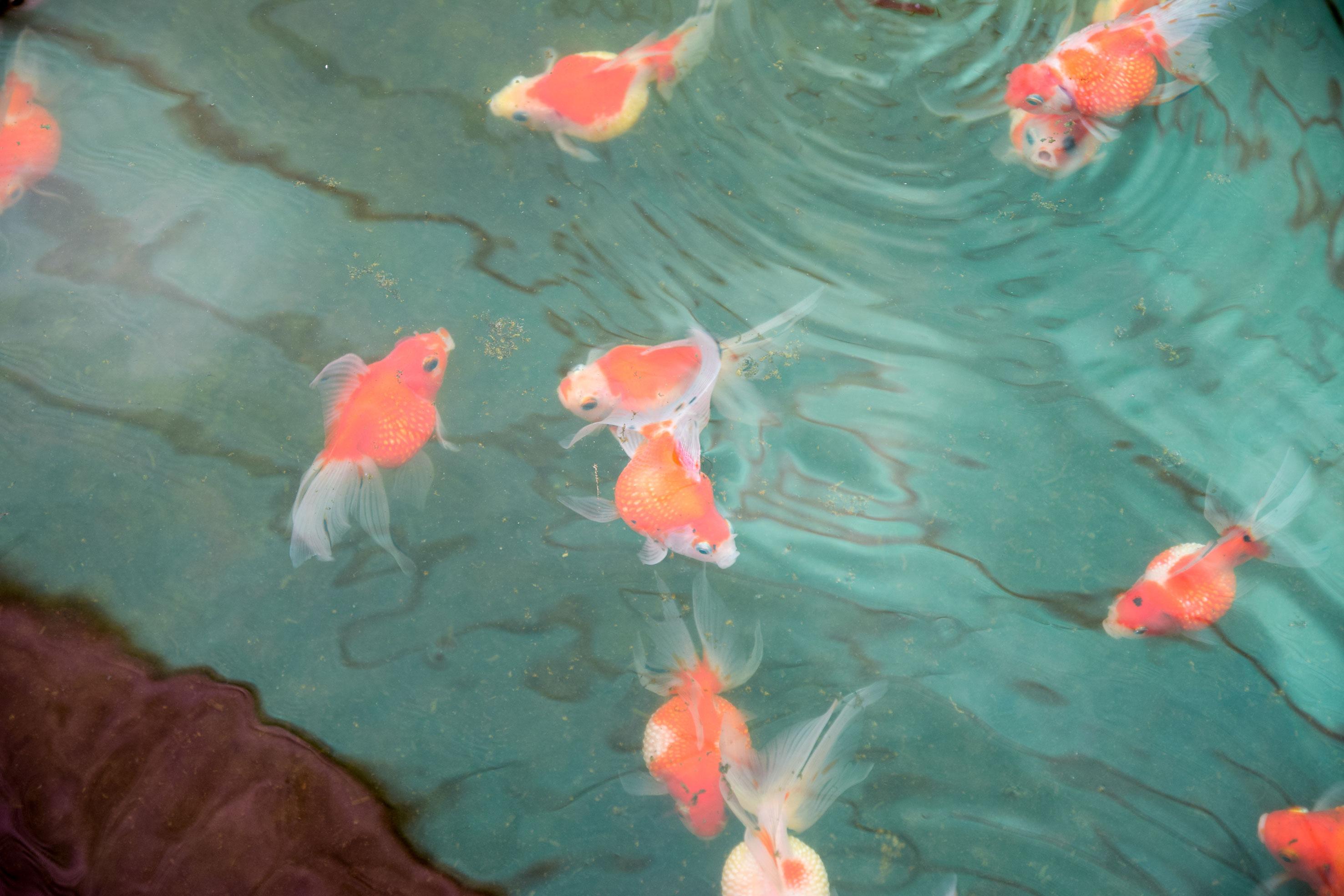 ตี๋พันธุ์ปลา